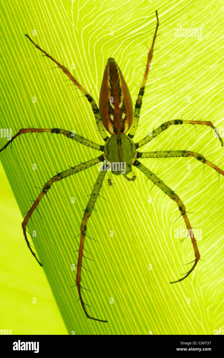 Madagaskar Lynx Spider (Peucetia Madagascariensis) ruht auf einem Blatt in Antsirabe, Zentralmadagaskar. August Stockbild