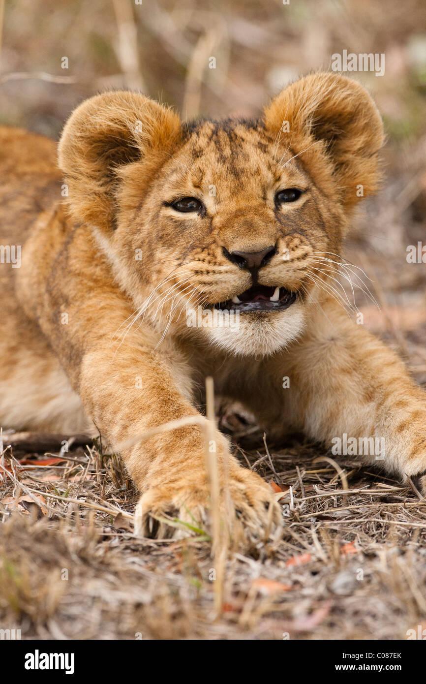 Lion Cub, Masai Mara, Kenia Stockbild
