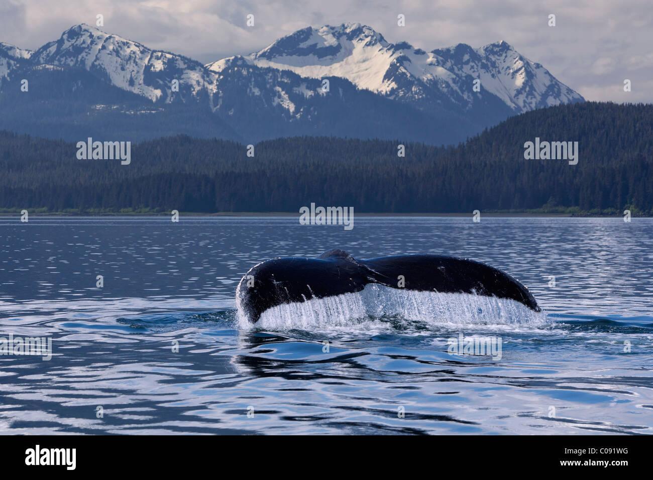 Wasser tropft von der Egel ein Buckelwal Schwanz wie es in die Tiefen des Seymour Canal, Inside Passage, Alaska Stockbild
