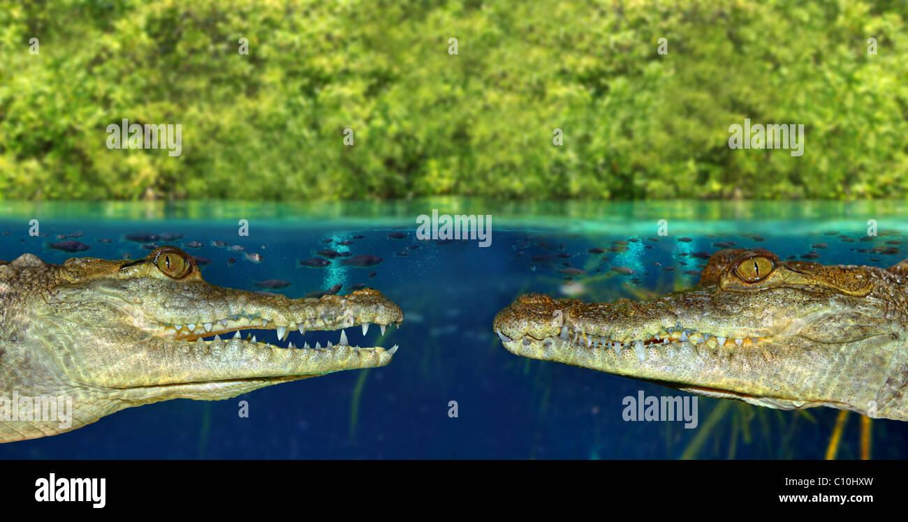 Zwei Krokodil verdeckt einander im Mangrovensumpf bis Wasserlinie Stockbild