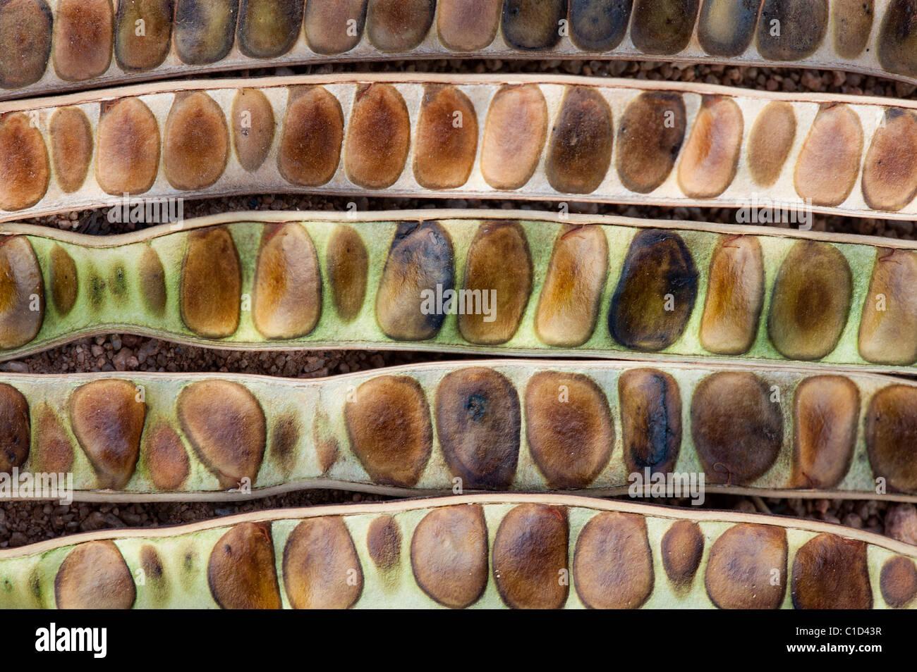 Senna Siamea. Kassod tree Samenkapseln. Indien. Abstraktes Muster Stockbild