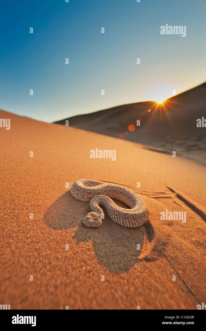 Die Sidewinder-Addierer (Bitis Peringueyi) ist eine giftige Viper-Spezies in der Namib-Wüste Stockbild