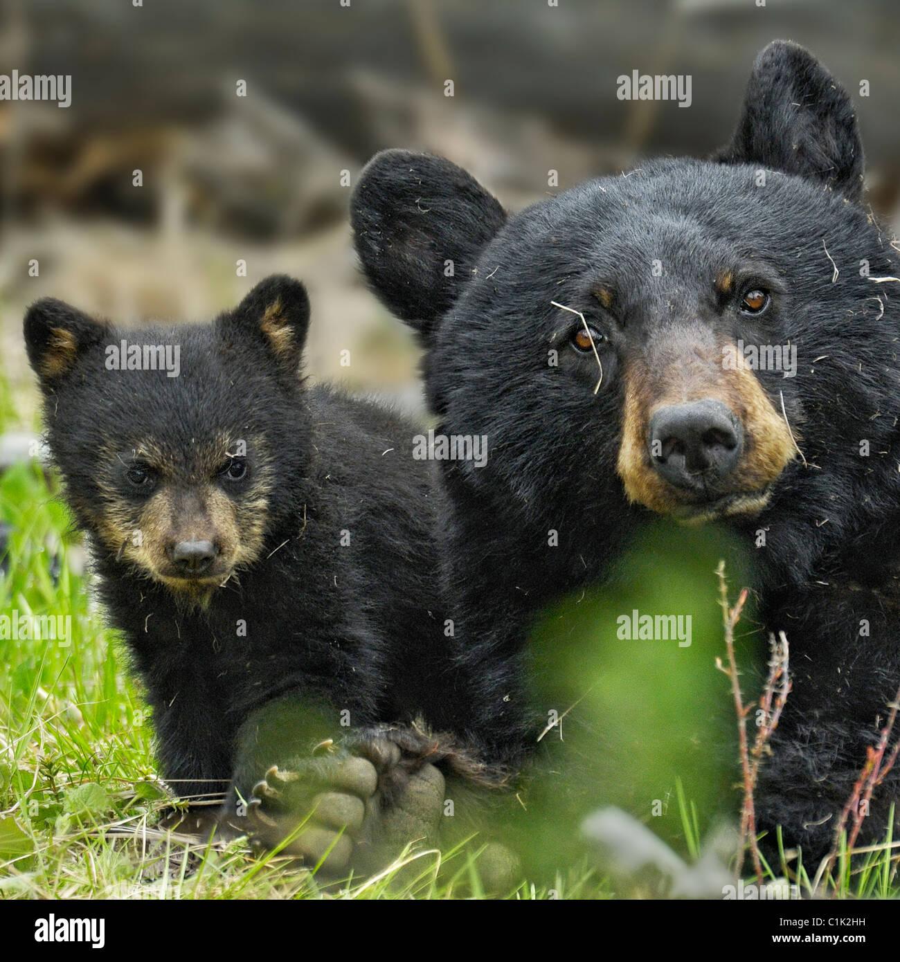 Mutter Bär und Baby Bär Stockbild