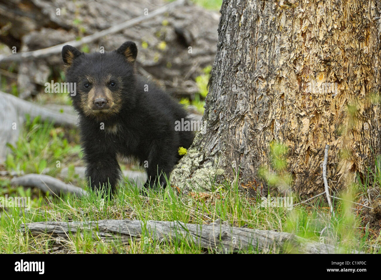 Baby-Schwarzbär Stockbild