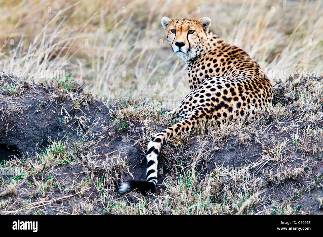 Gepard, Acinonyx Jubatus, auf der Suche nach Beute, Masai Mara National Reserve, Kenia, Afrika Stockbild