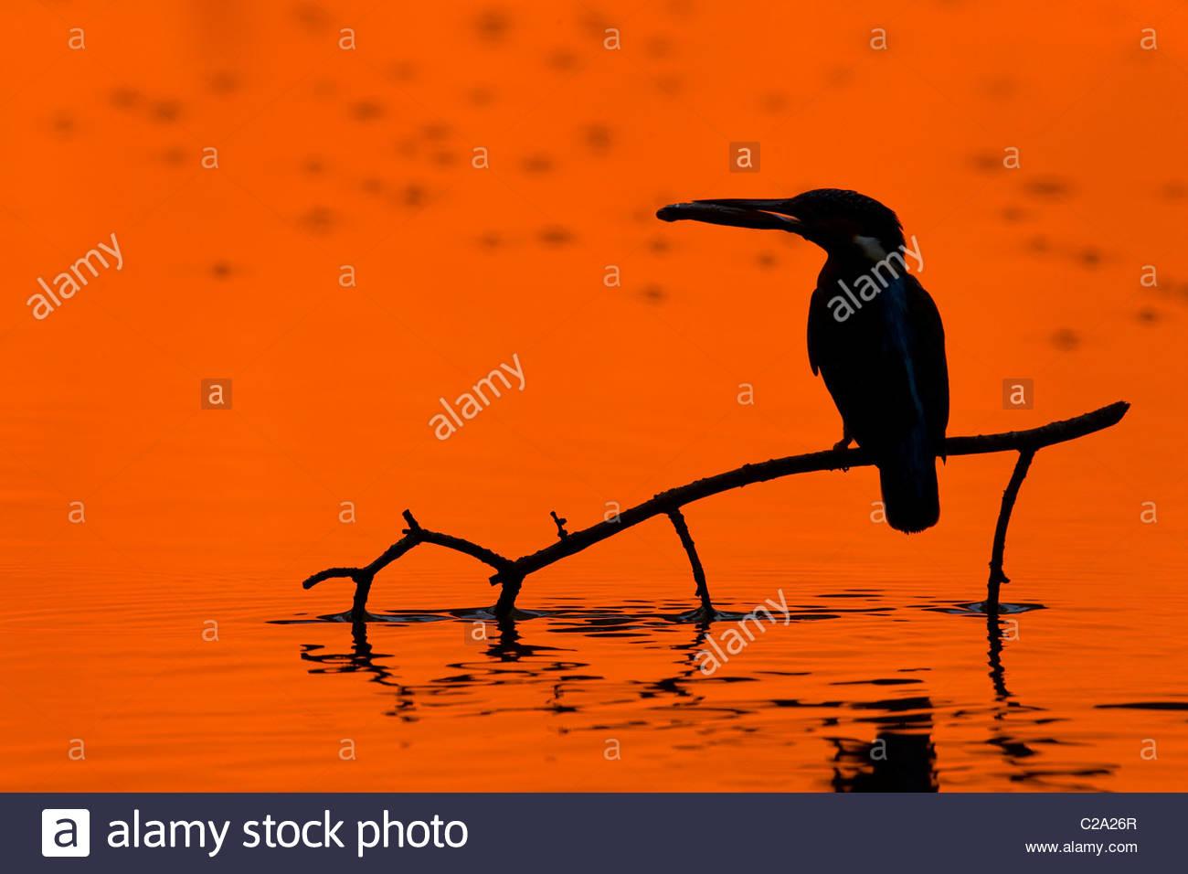 Erwachsene männliche Eisvogel, Alcedo Atthis, hält einen Fisch bei Sonnenuntergang. Stockbild