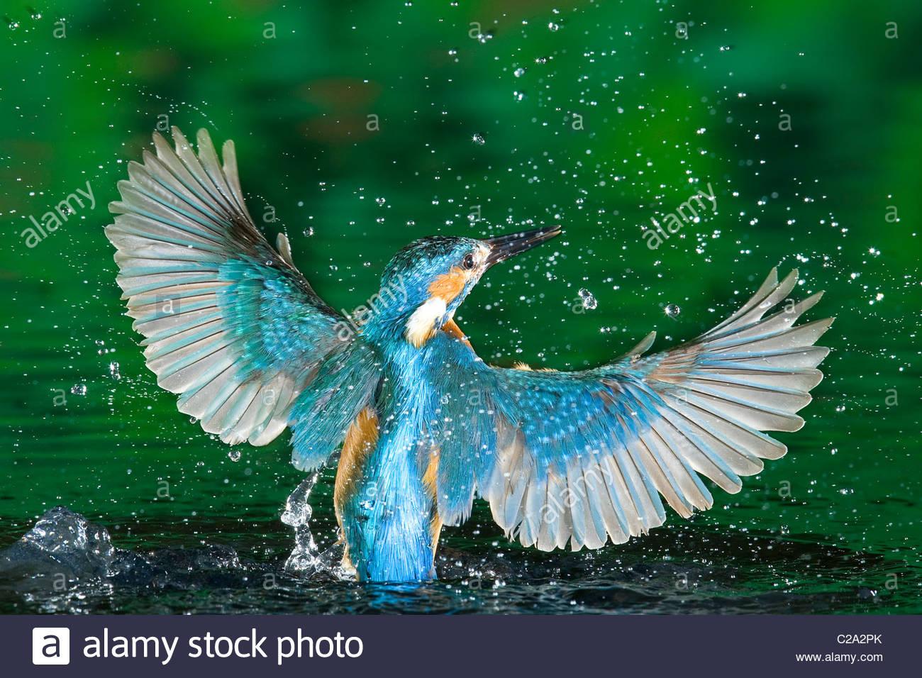 Erwachsene männliche Eisvogel, Alcedo Atthis, ohne einen Fisch entstehen. Stockbild