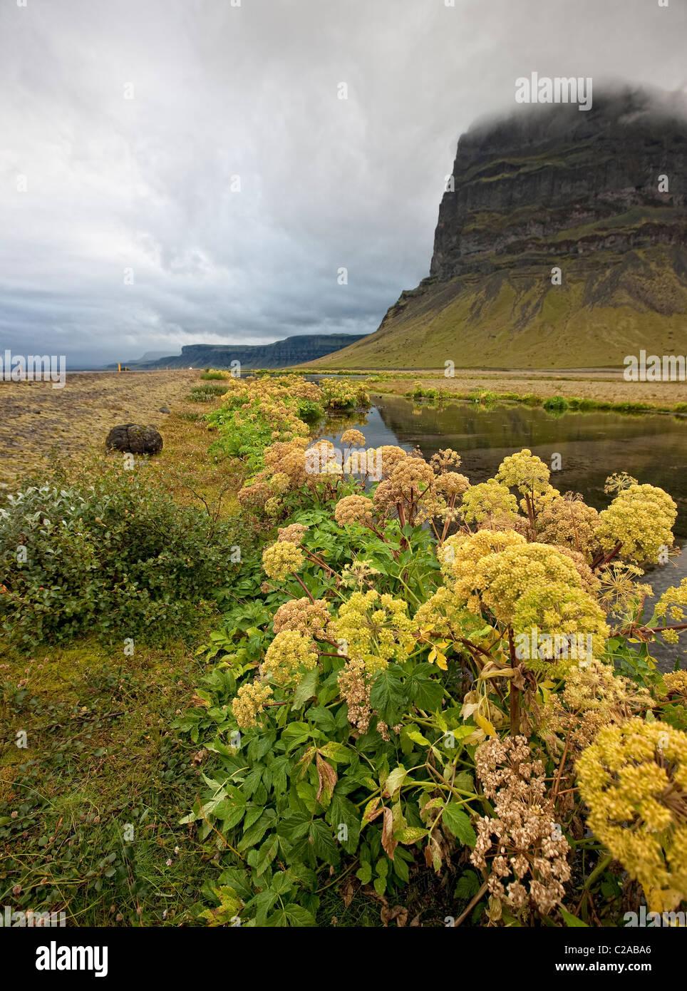 Angelica, Herbst Mt. Lomagnupur, Icelad Stockbild