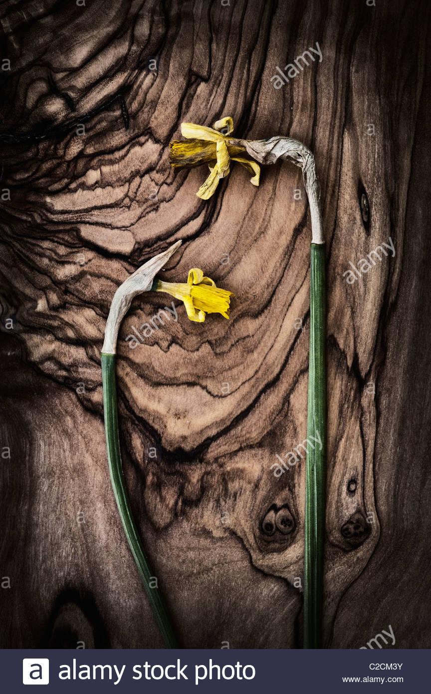 Tot Tete a Tete narzisse Blüten auf olivenholz Brett mit schwarzen und weißen Filter Stockbild