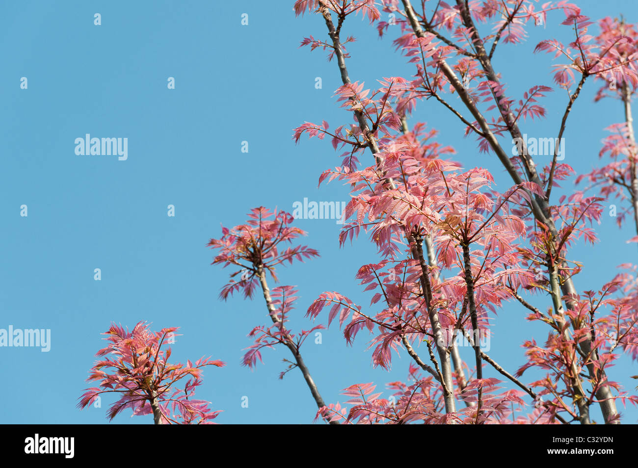 toona sinensis 39 flamingo 39 chinesische mahagoni 39 flamingo 39 baum mit rosa bl ttern im fr hjahr. Black Bedroom Furniture Sets. Home Design Ideas