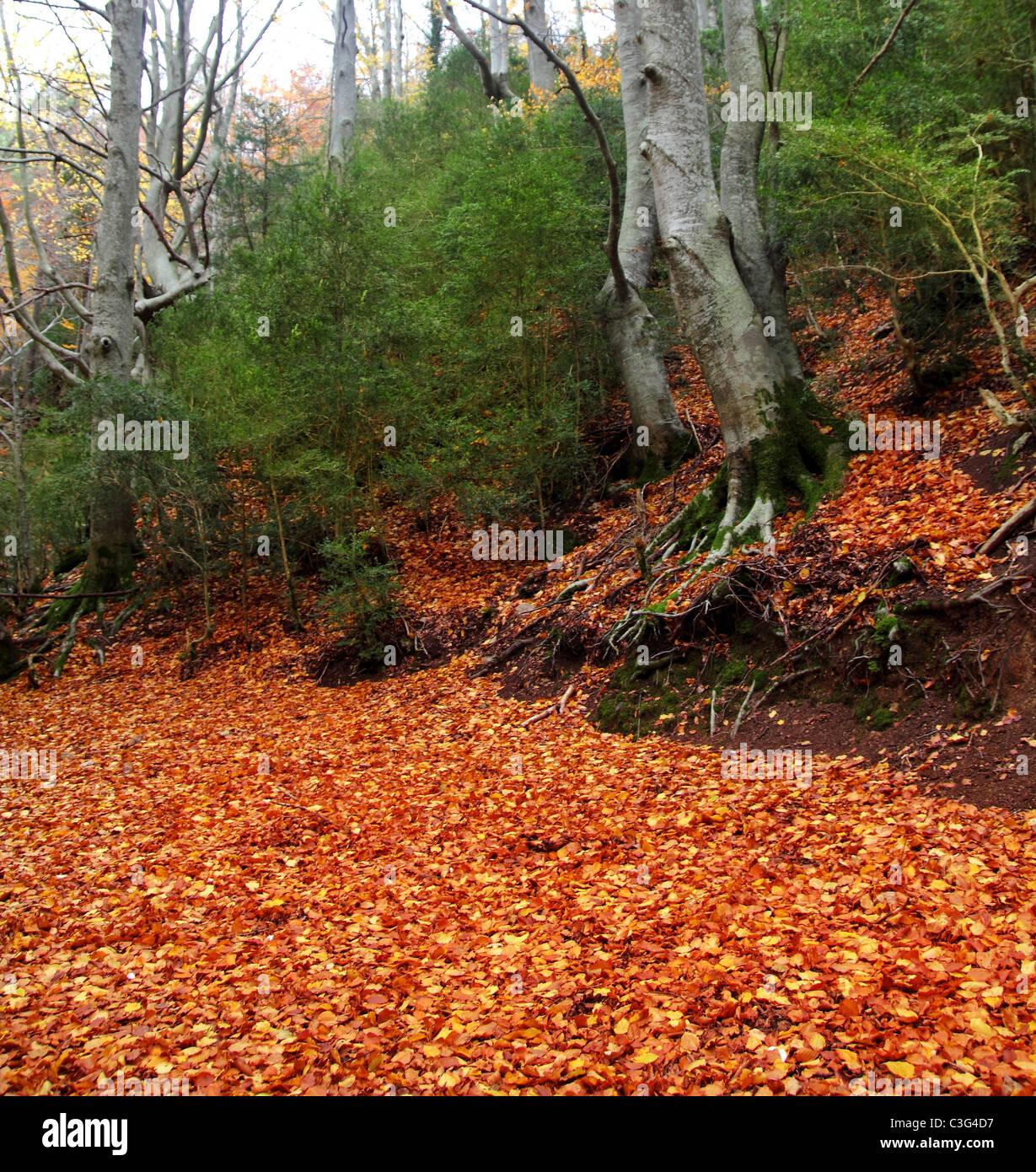 hundertjährigen Buche Baum Herbstwald im goldenen Herbst Blätter Stockbild