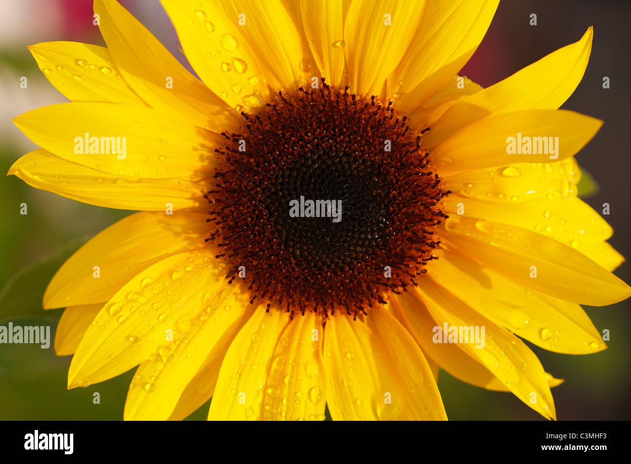 Deutschland, Bayern, Sonnenblume, Nahaufnahme Stockbild