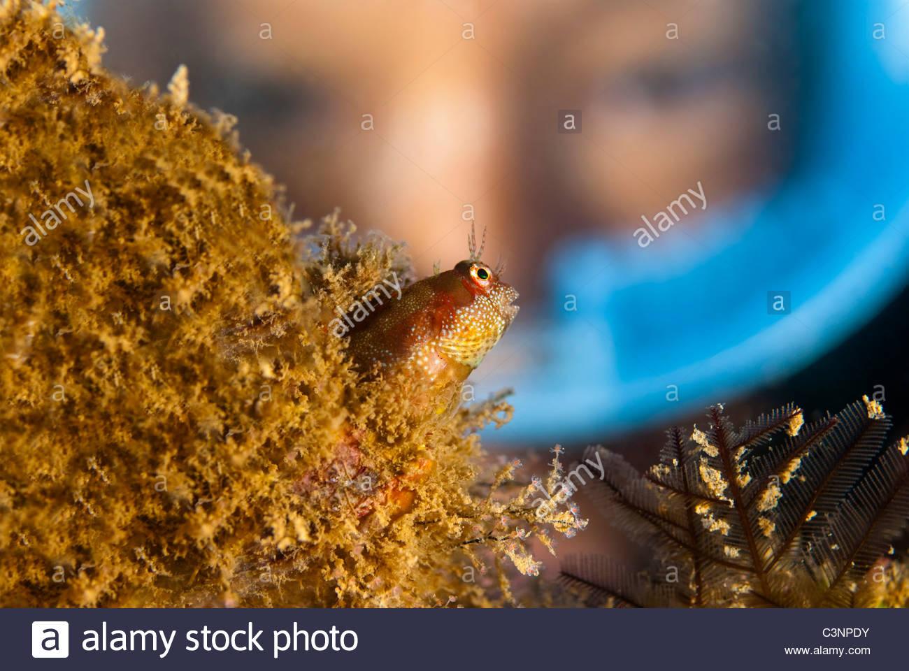 Nahaufnahme eines Fisches Blenny Stockbild