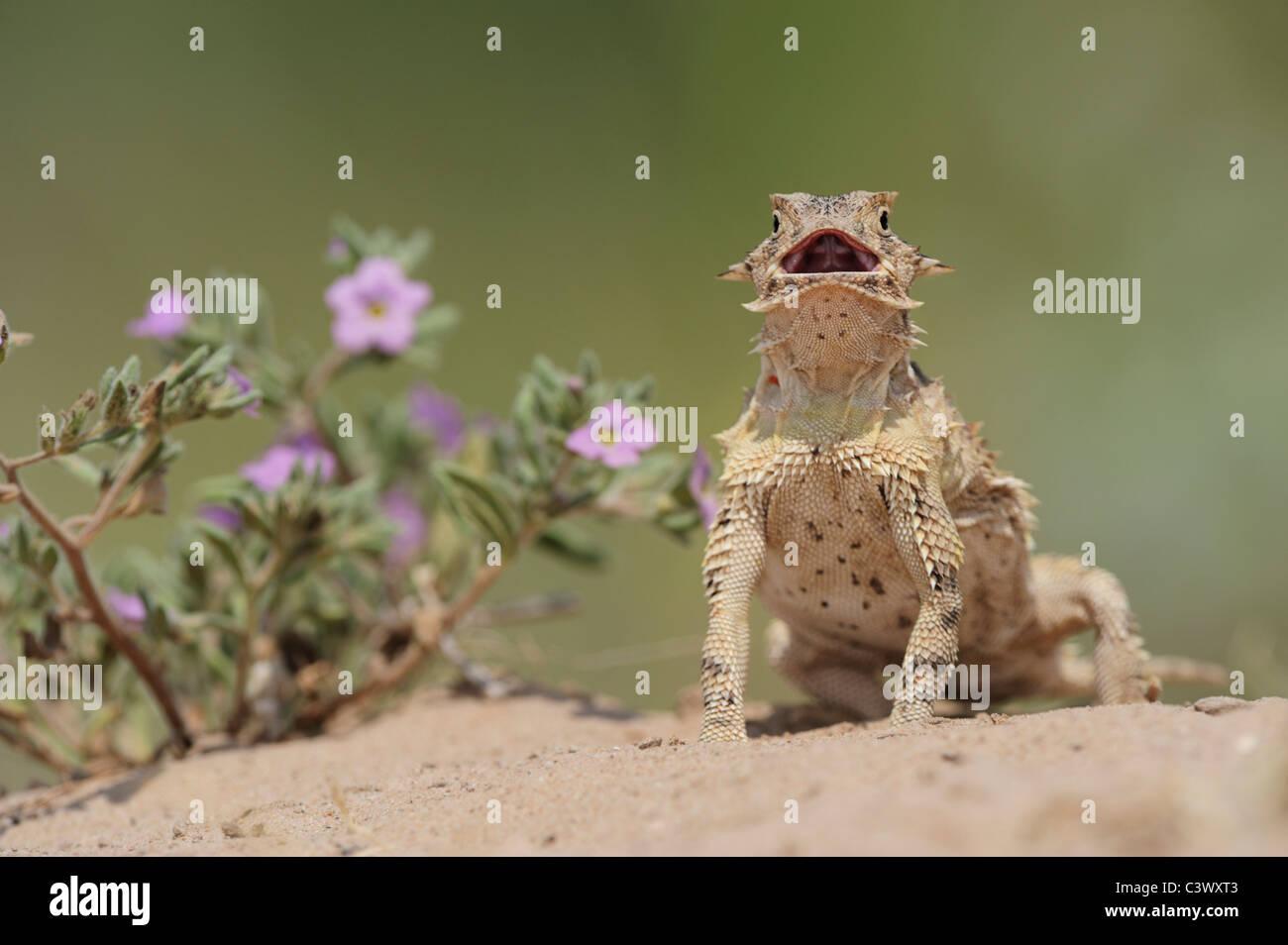 Texas-Krötenechsen (Phrynosoma Cornutum), Erwachsene, aufstehen, Laredo, Webb County, South Texas, USA Stockbild