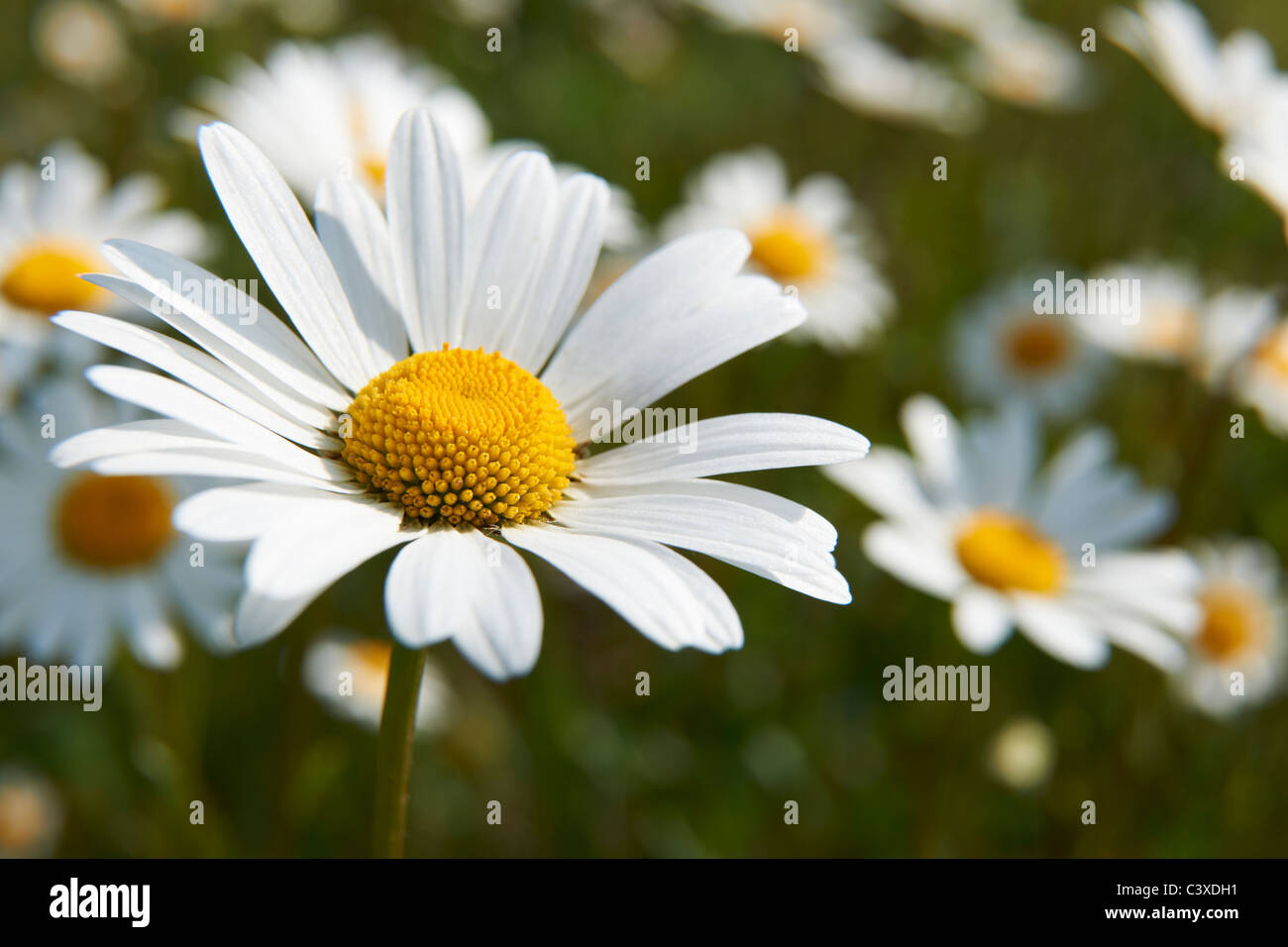Nahaufnahme von Daisy im Feld in voller Blüte Stockbild