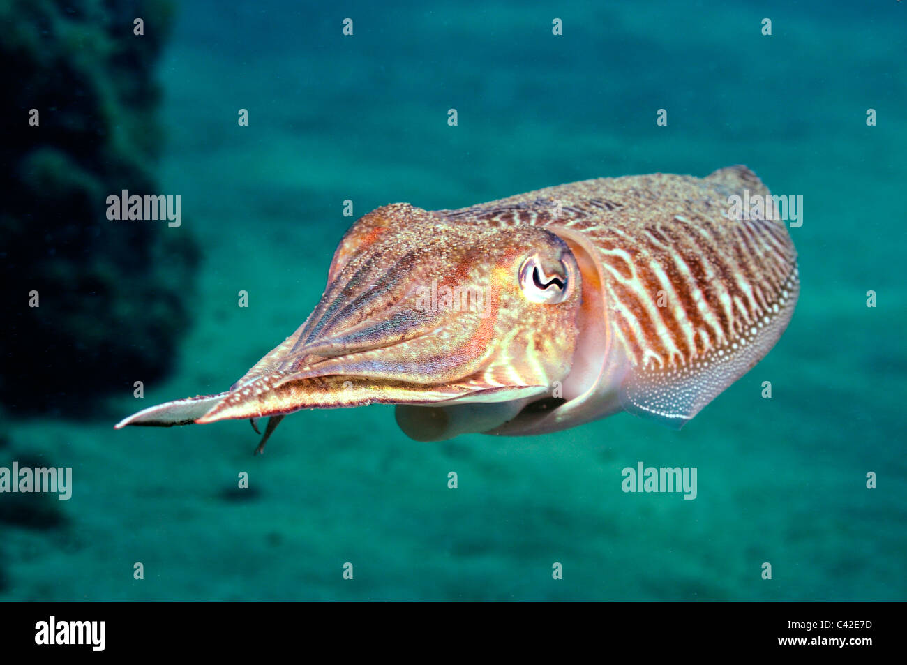 Tintenfisch (Sepia Officinalis) Schwimmen unter Wasser Stockbild