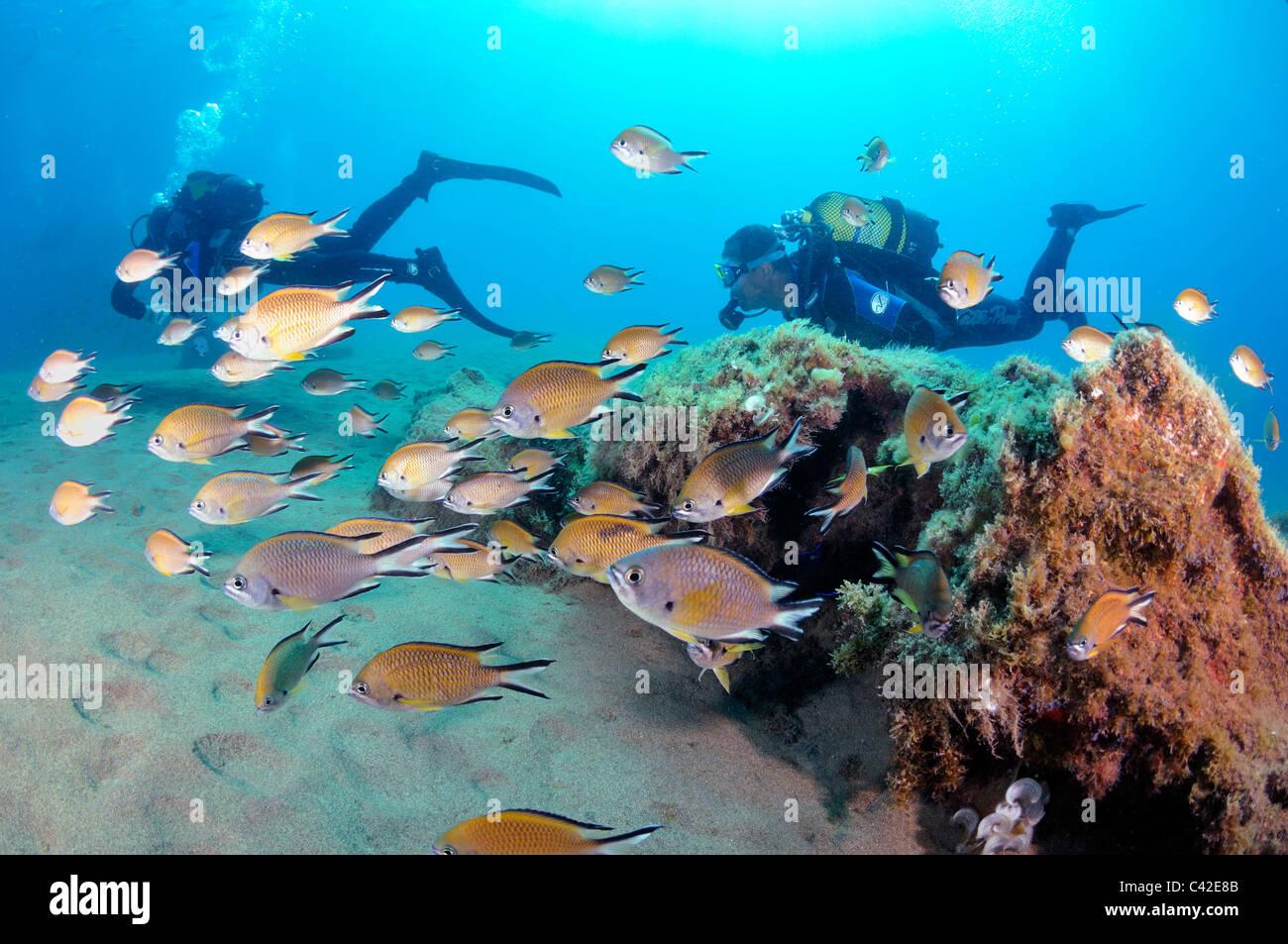 Atlantic Riffbarsche, Chromis Limbatus mit Taucher im Hintergrund, Lanzarote Stockbild