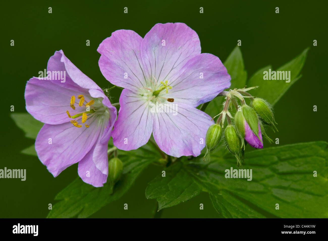 Wild Geranium maculatum Blumen und Blüten sowie deren Knospen Frühling Osten der Vereinigten Staaten und Stockbild