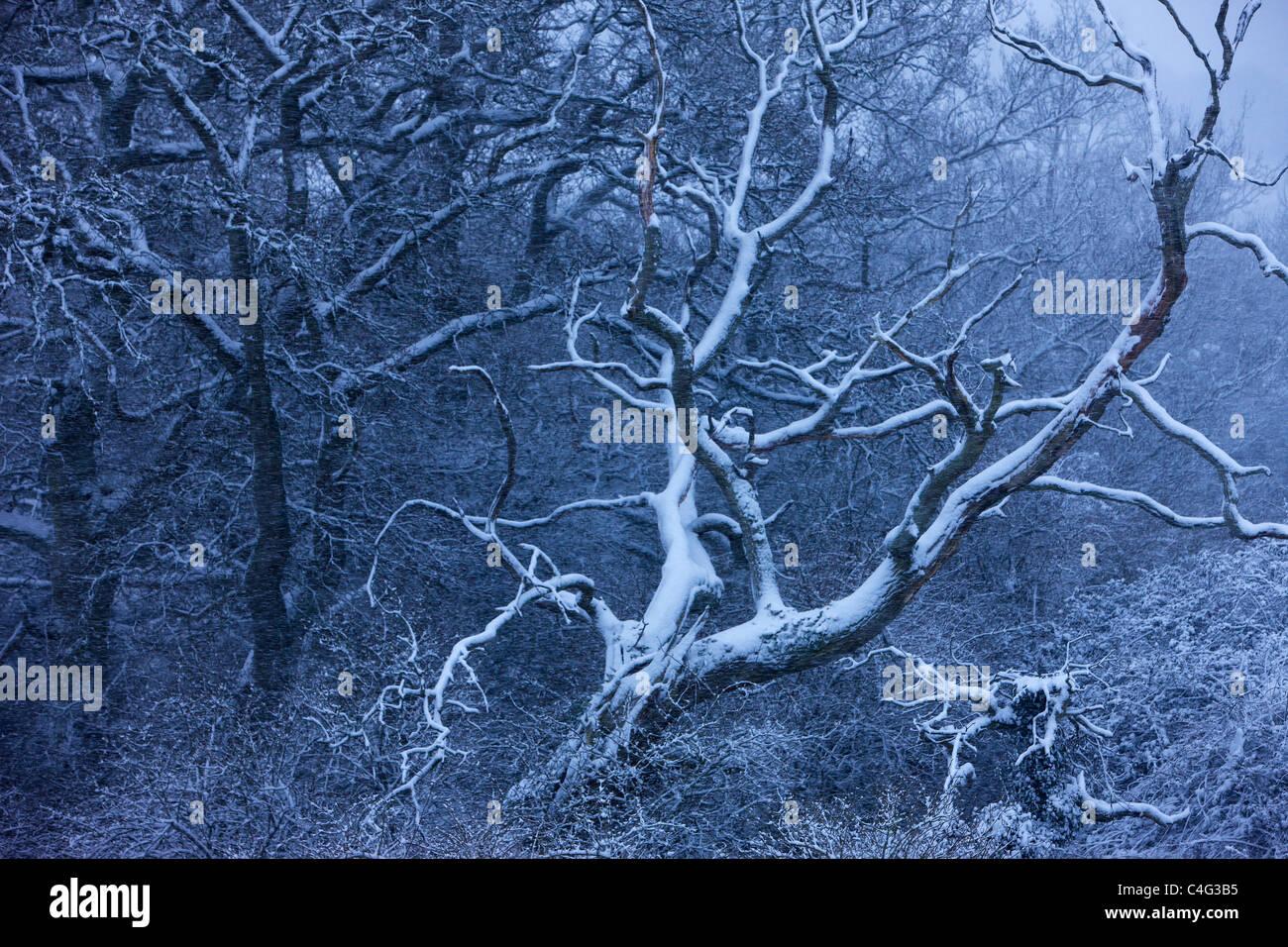 Schnee auf den Bäumen am Cadbury Castle, Somerset, England Stockbild