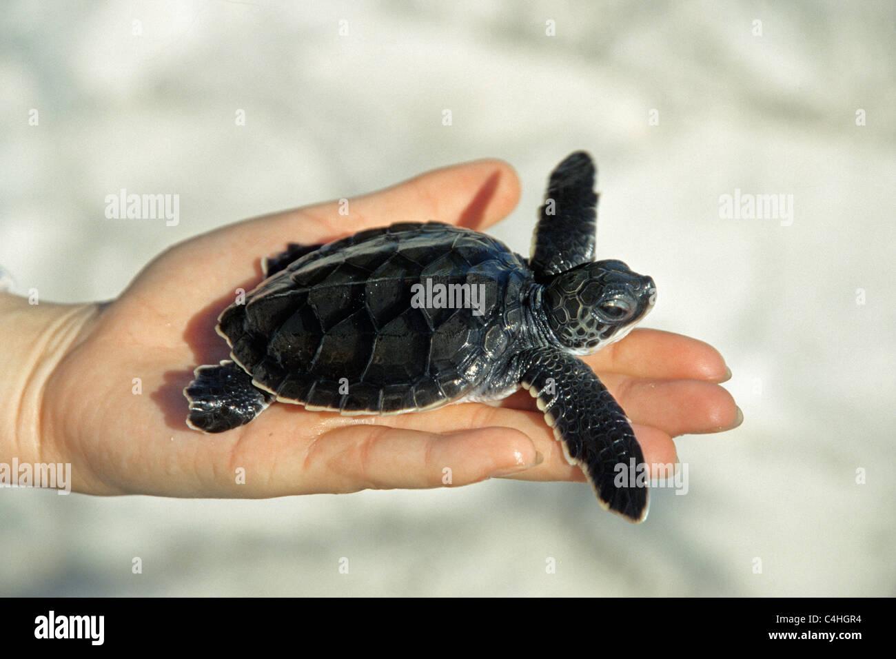 Grüne Meeresschildkröte (Chelonia mydas), Baby in der menschlichen Hand, Cayo Largo, Kuba, Karibik Stockbild