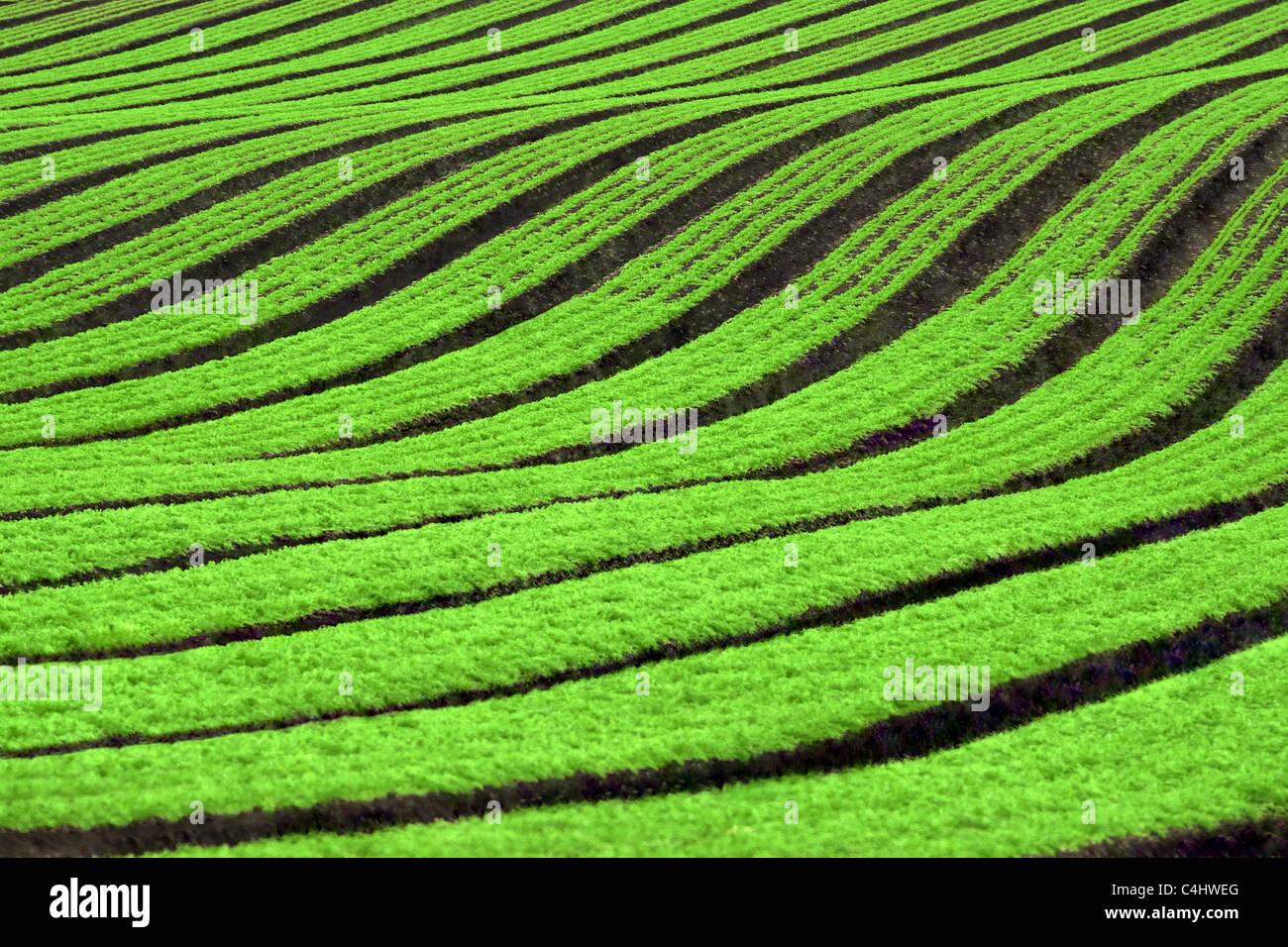 Reihen von Karotten ernten Stockbild