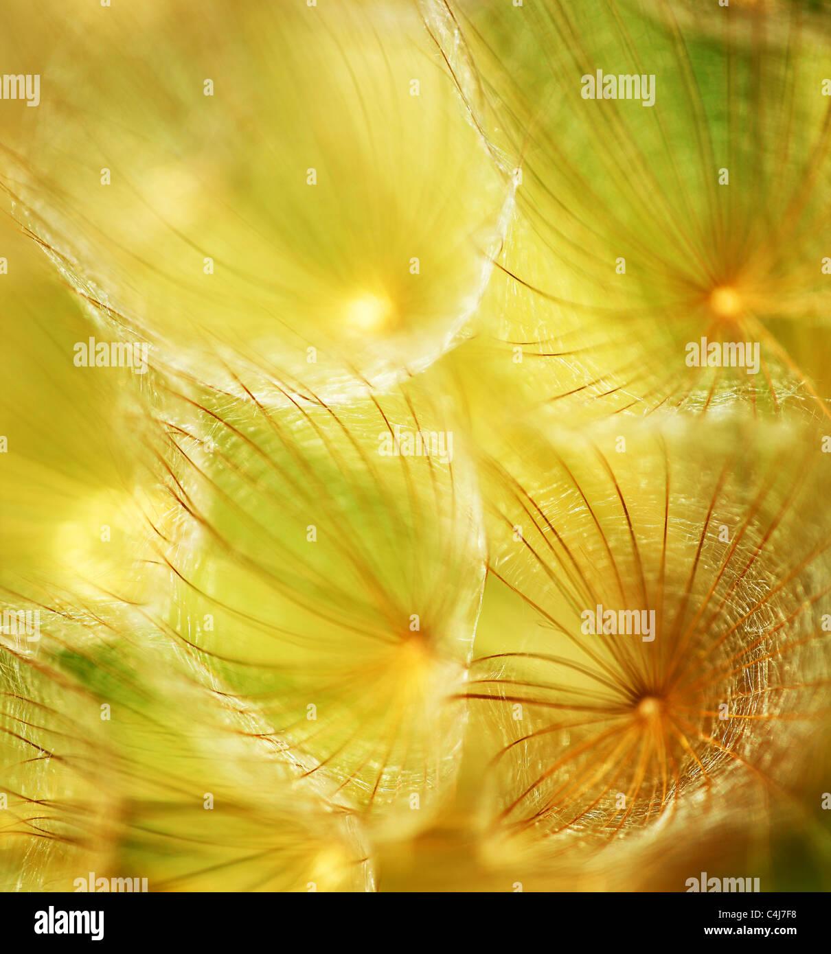 Weiche Blume Löwenzahn, extreme Nahaufnahme, abstrakten Feder Natur Hintergrund Stockbild