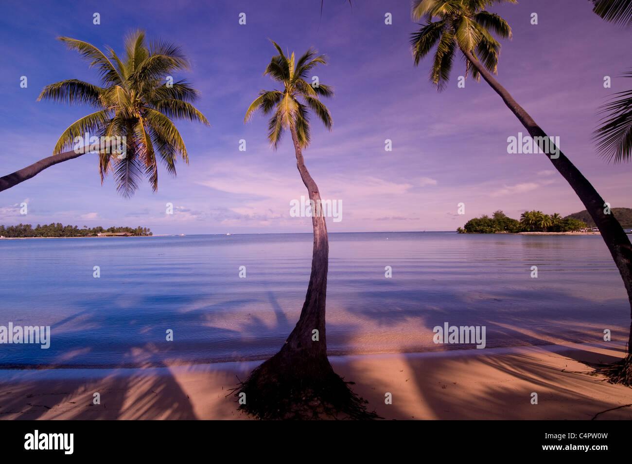 Palmen auf der Musket Cove Bay Insel von Malolo Lailai in der Mamanuca Inselgruppe Fidschi South Pacific Stockbild