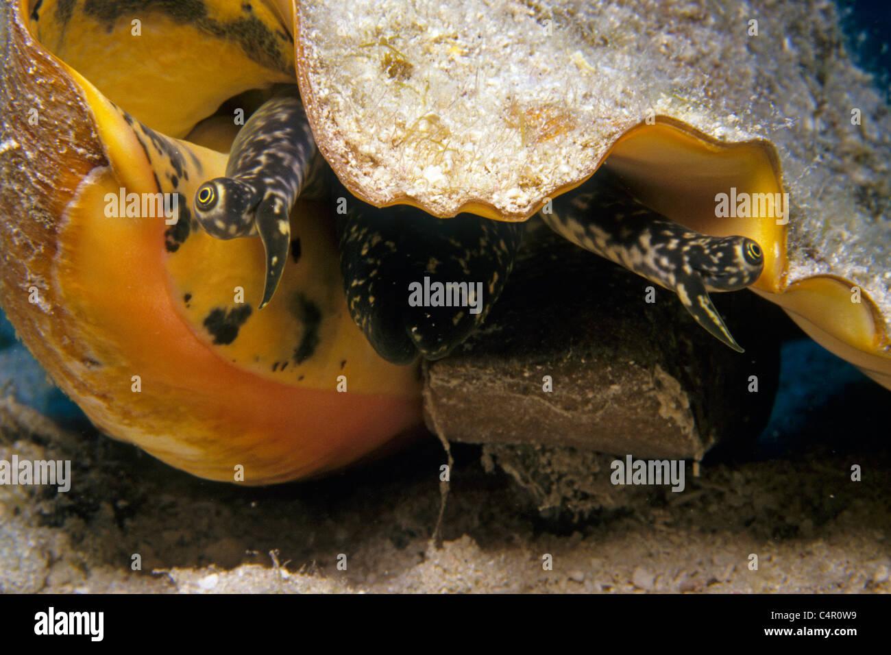 Augen eines queen Conch, Strombus gigas Conch Shell (), Curaçao, Karibik Stockbild