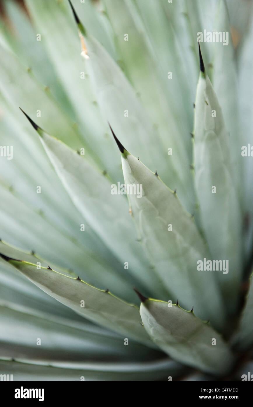 Agave-Pflanze, close-up Stockbild