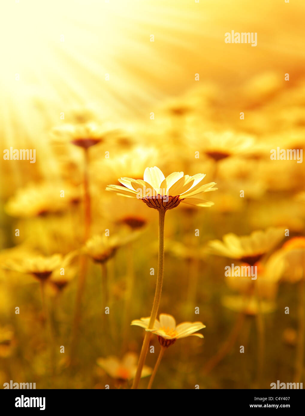 Frische Gänseblümchen Blume Feld Hintergrund am sonnigen Frühlingstag, Sonnenuntergang Makro-outdoor Stockbild
