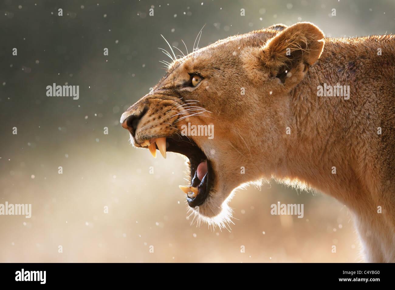 Löwin zeigt gefährliche Zähne während leichte Regenschauer - Krüger National Park - Süd Stockbild