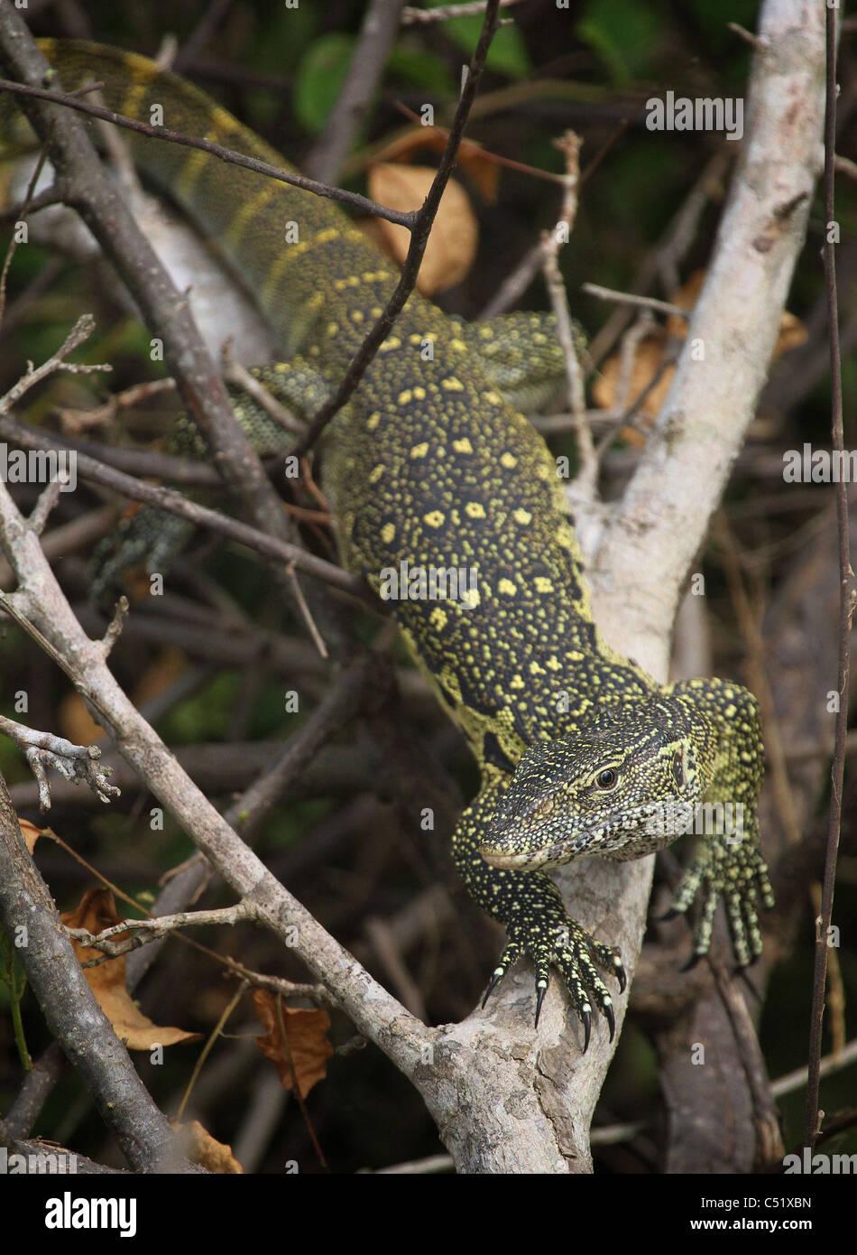 [Nilwaran] Varanus Niloticus Saadani Nationalpark Tansania Stockbild
