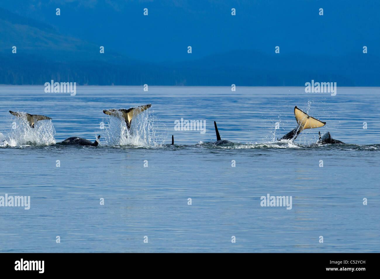 Orca Wale schlagen spielerisch ihren Schwänzen an der Oberfläche in Chatham Strait, Inside Passage, südöstlichen Stockbild