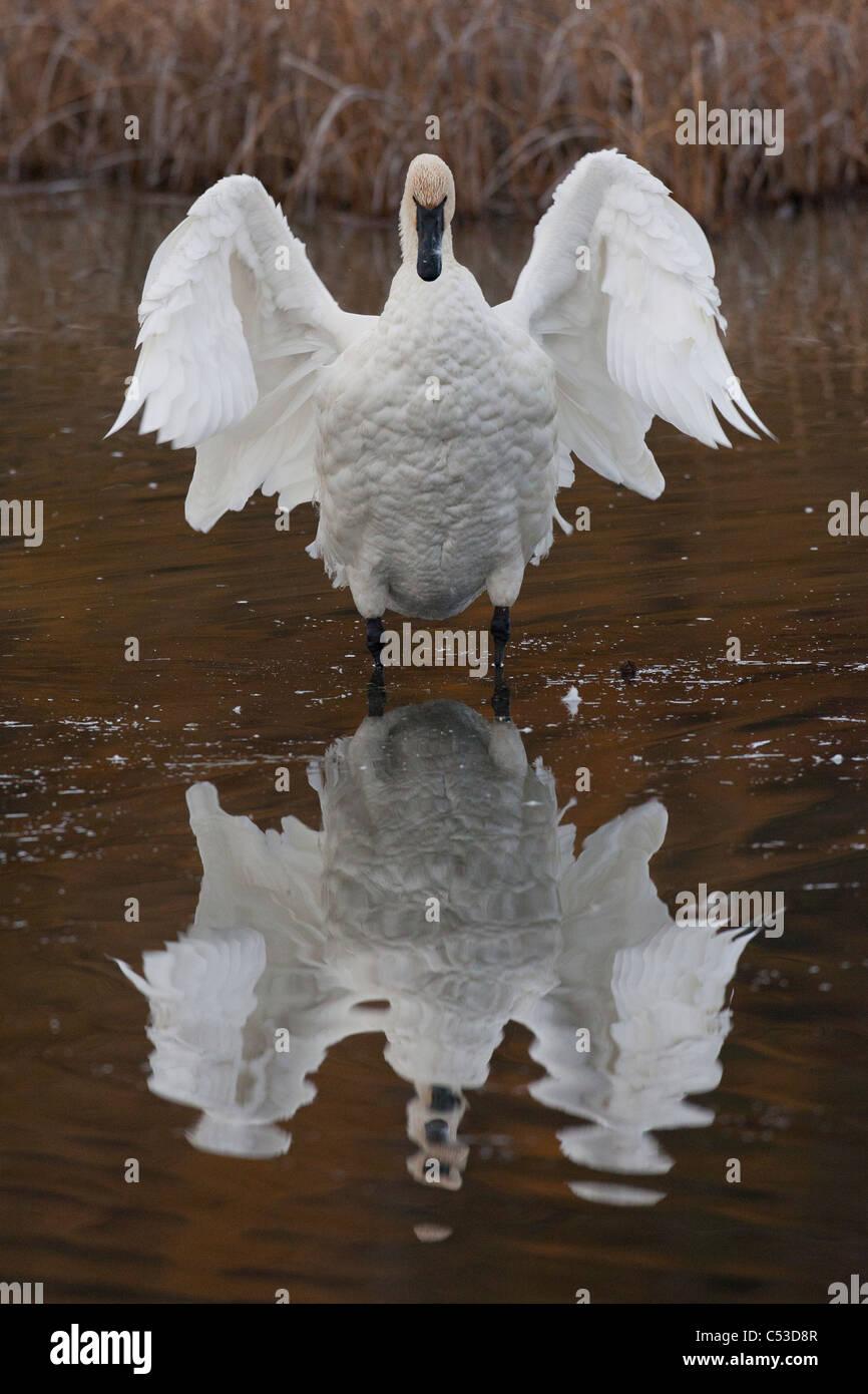 Trompeter Schwan Flügeln es mit Reflexion sichtbar in Potter Marsh, Anchorage, Yunan Alaska, Herbst Stockbild