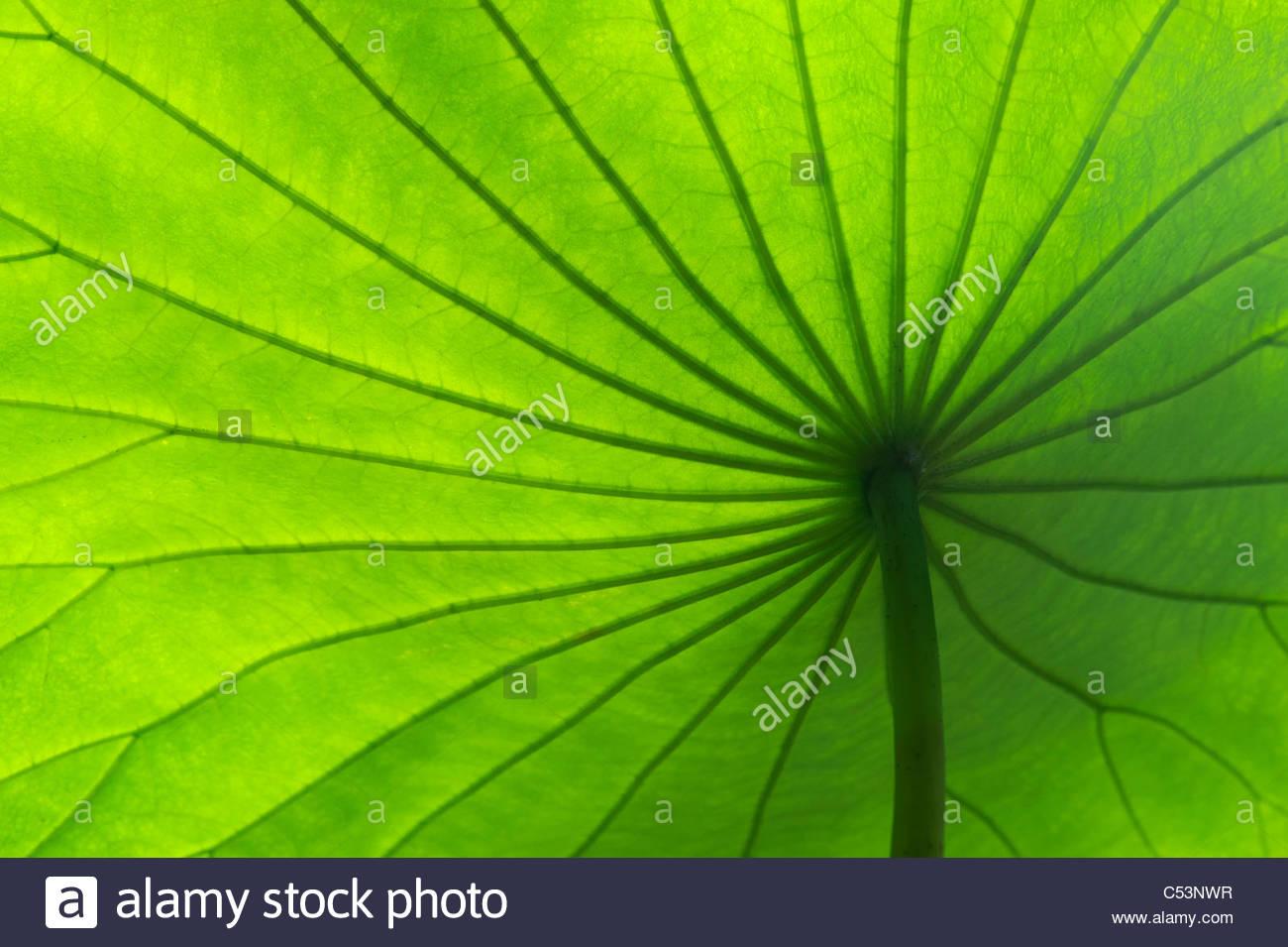 Nelumbo nucifera. Unter einer Lotus Blatt Muster Stockbild
