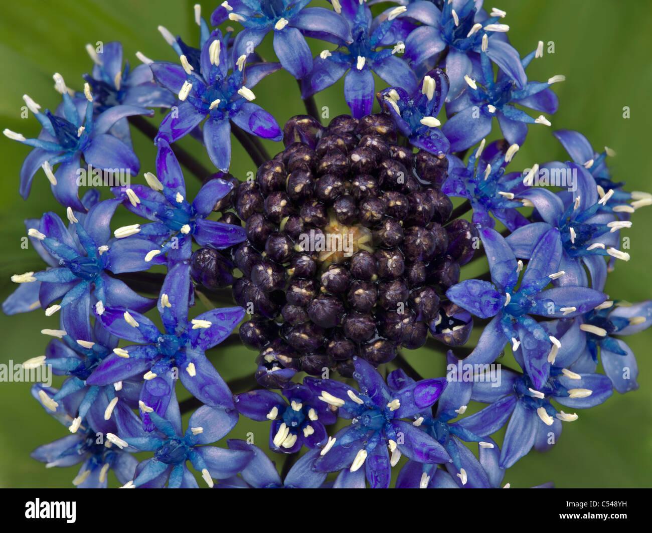 Kubanische Lily (Scilla Peruviana) der Connie Hansen Garten. Lincoln City, Oregon Stockbild