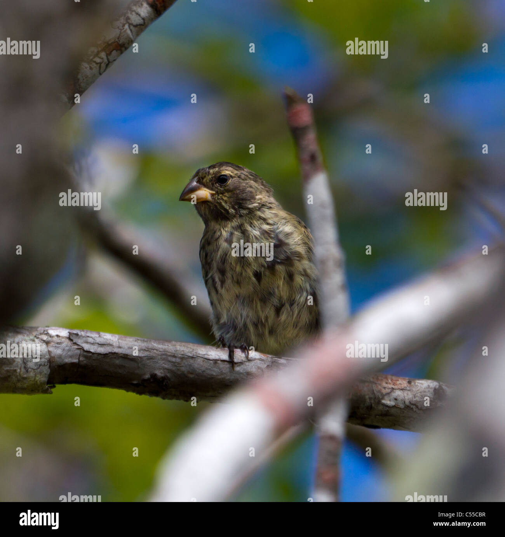 Darwins Finch, Galapagos-Inseln, Ecuador Stockbild