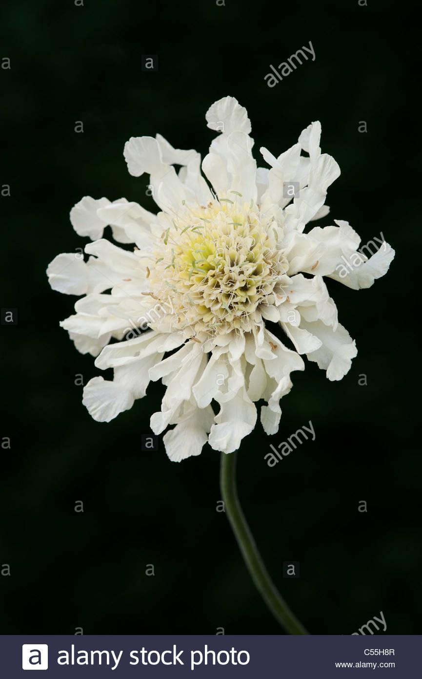 Cephalaria Gigantea. Riesige Witwenblume Blume vor einem dunklen Hintergrund Stockbild