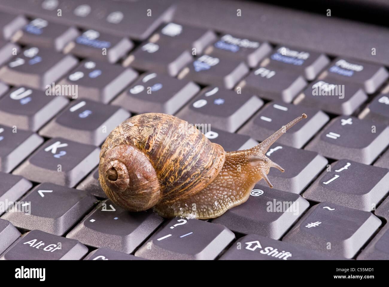 Gemeinsamen braune Schnecke auf Computer-Tastatur. Stockbild