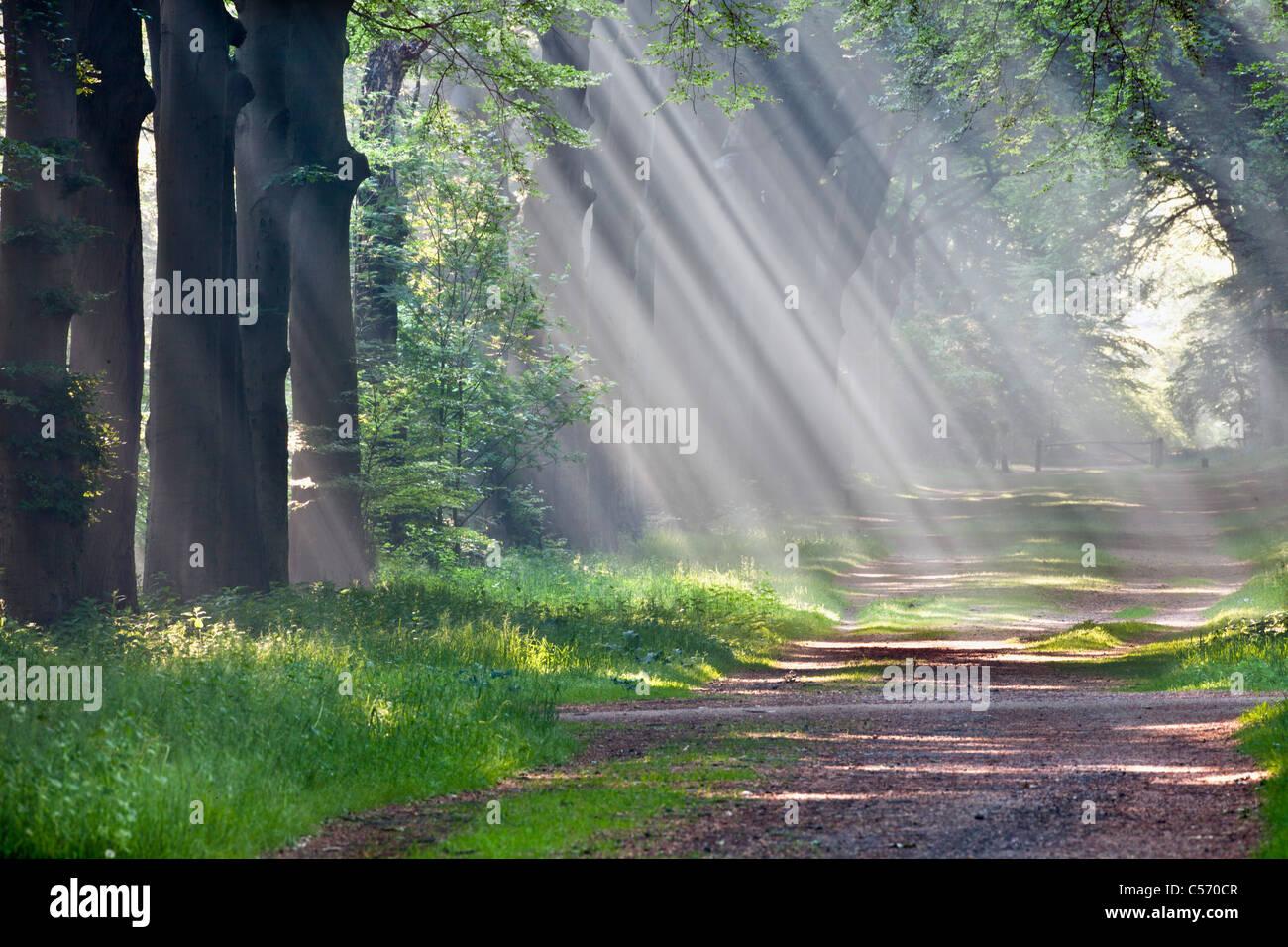 Den Niederlanden,'s-Graveland, Beech Forest Road. Landgut namens Gooilust. Sonnenstrahlen im Morgennebel. Stockbild