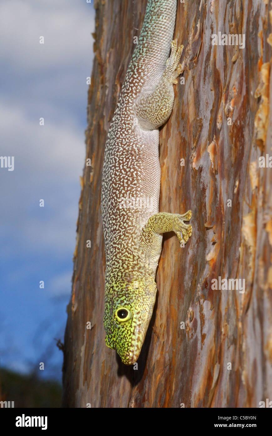 Standings Taggecko (Phelsuma Standingi) in der stacheligen Kaktus Wald von Reniala Nature Reserve, Ifaty, westlichen Stockbild