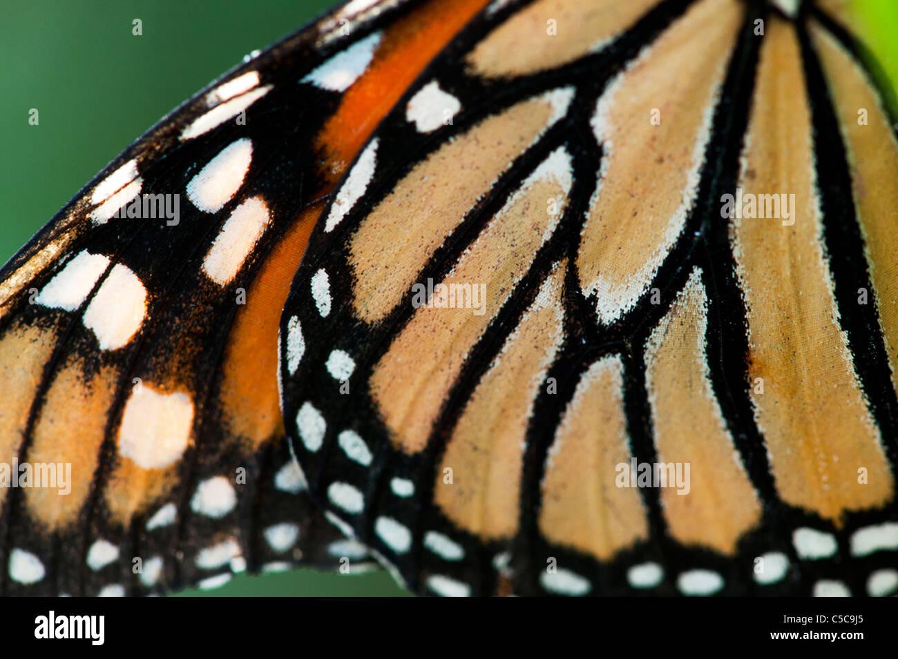 Danaus Plexippus. Monarch-Schmetterling Flügelmuster Stockbild