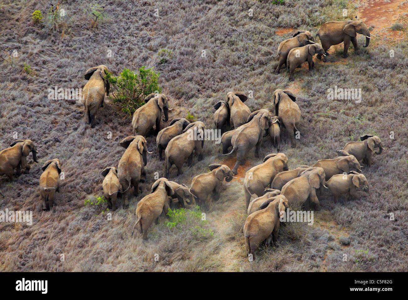Luftaufnahme des afrikanischen Elefanten (Loxodonta Africana) in Kenia. Stockbild