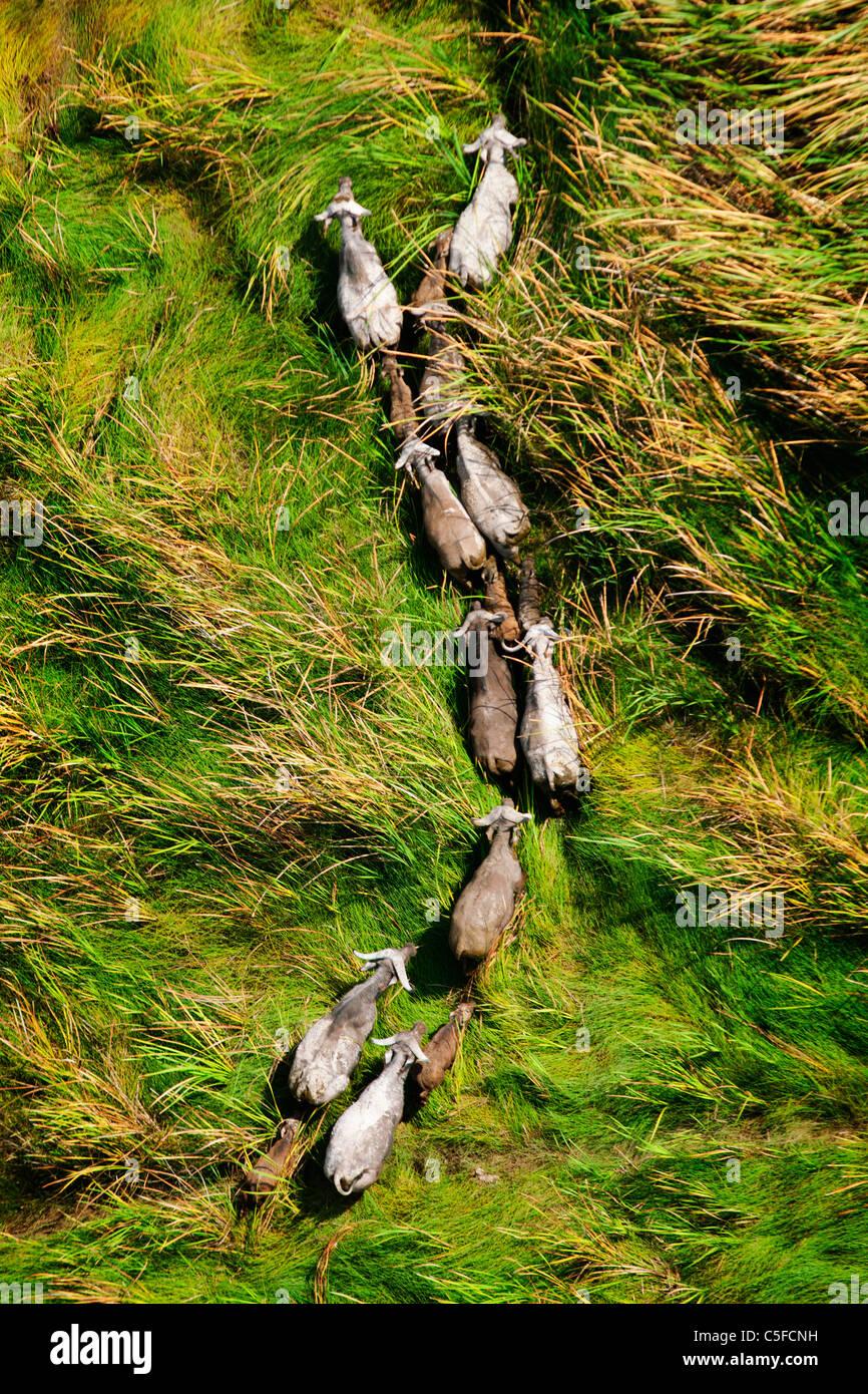 Luftaufnahme der Kaffernbüffel (Syncerus Caffer) in Kenia. Stockbild