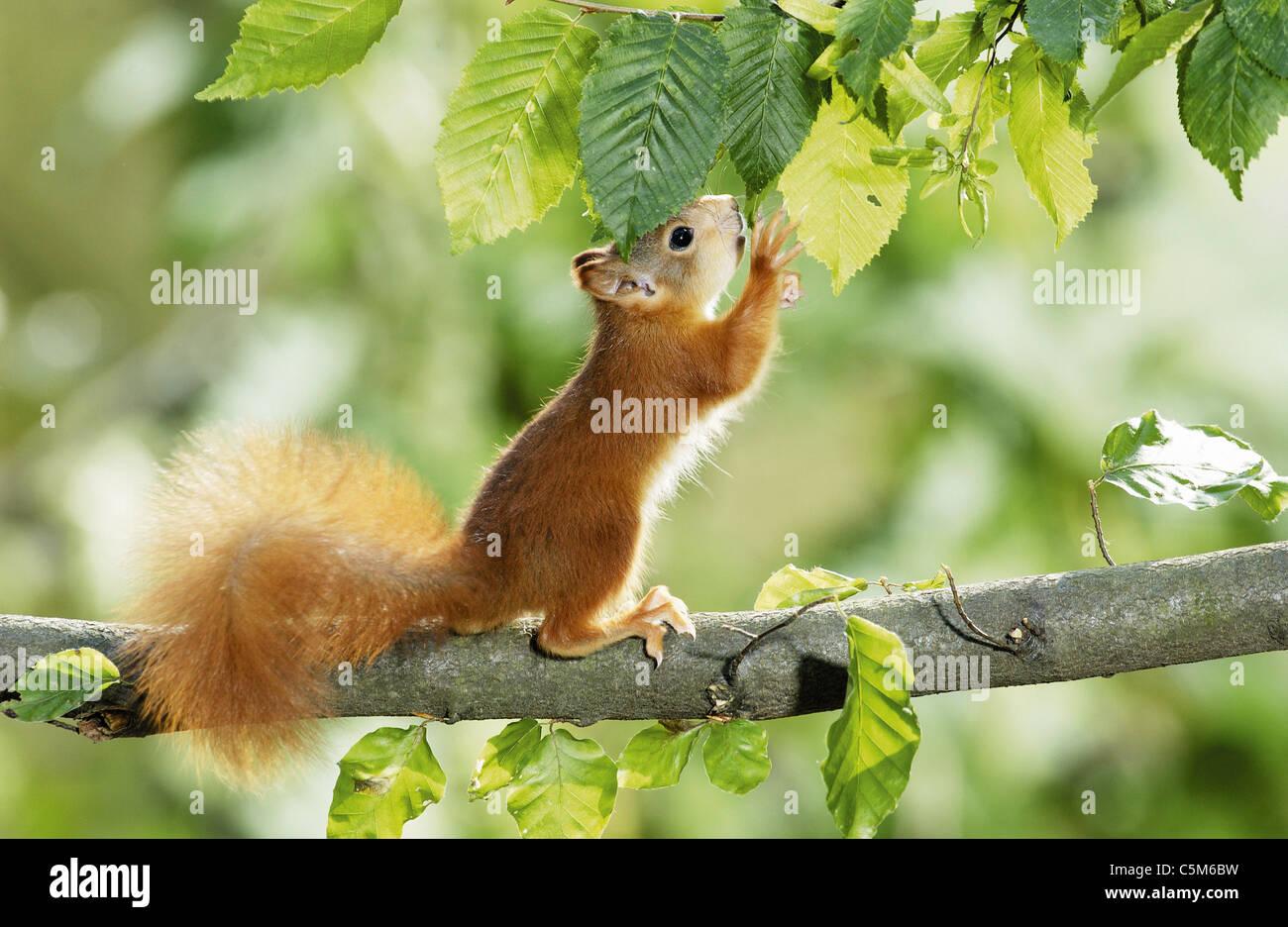 Europäische Eichhörnchen Jungtier im Baum Stockbild