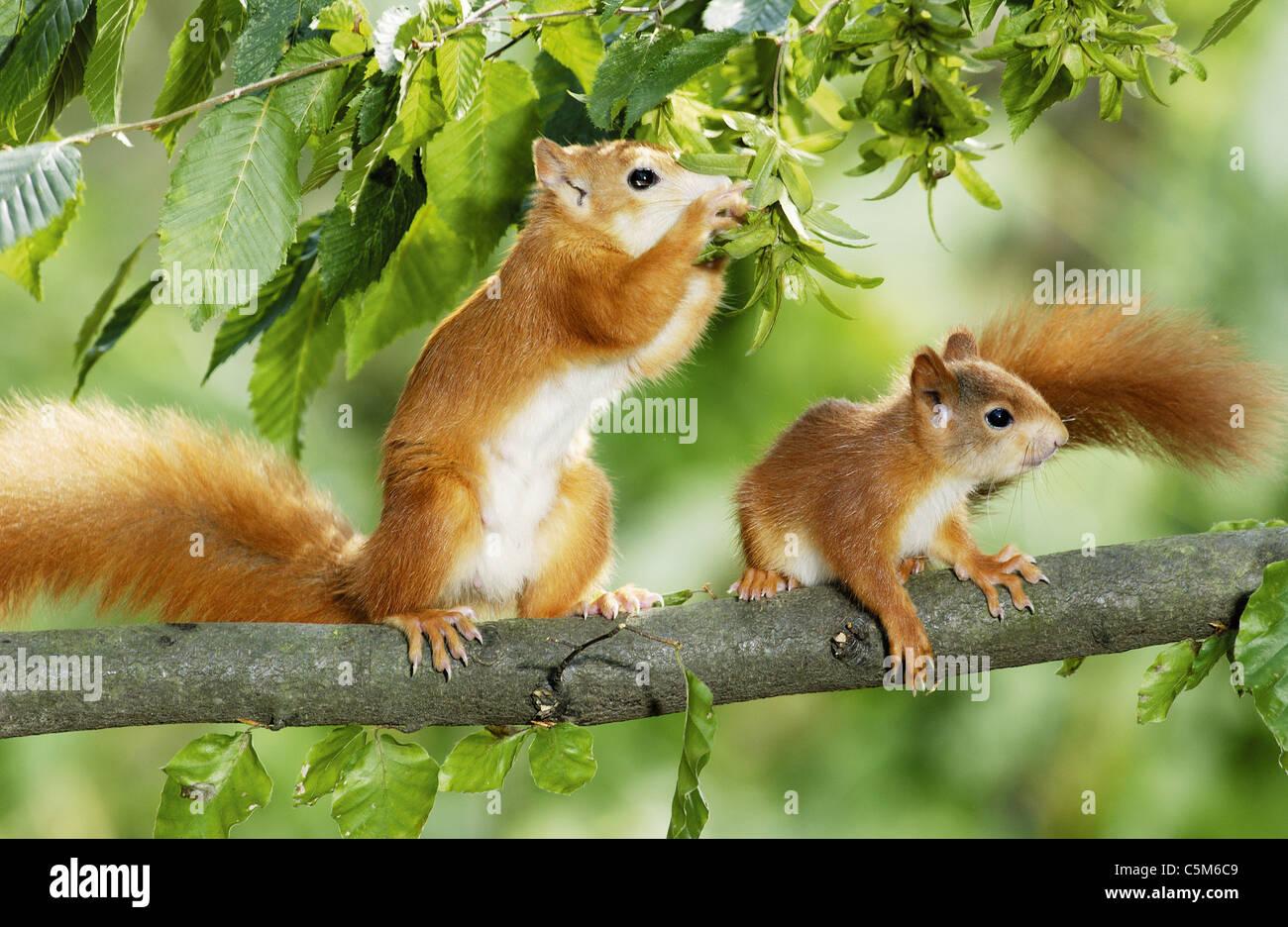 Europäische Eichhörnchen mit Cub auf Baum Stockbild