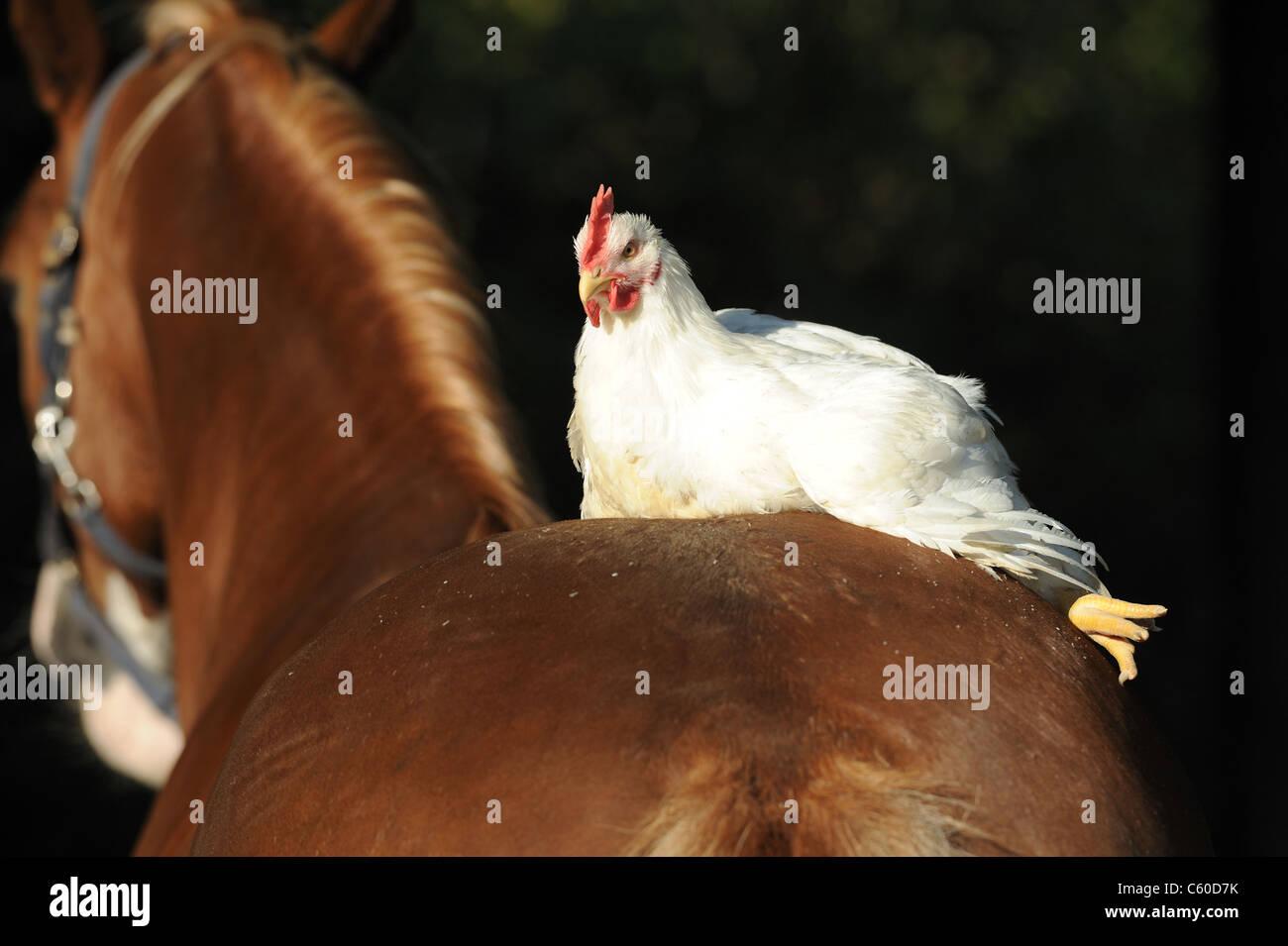 Haushuhn (Gallus Gallus Domesticus) ruht auf einem Welsh-Pony. Stockbild