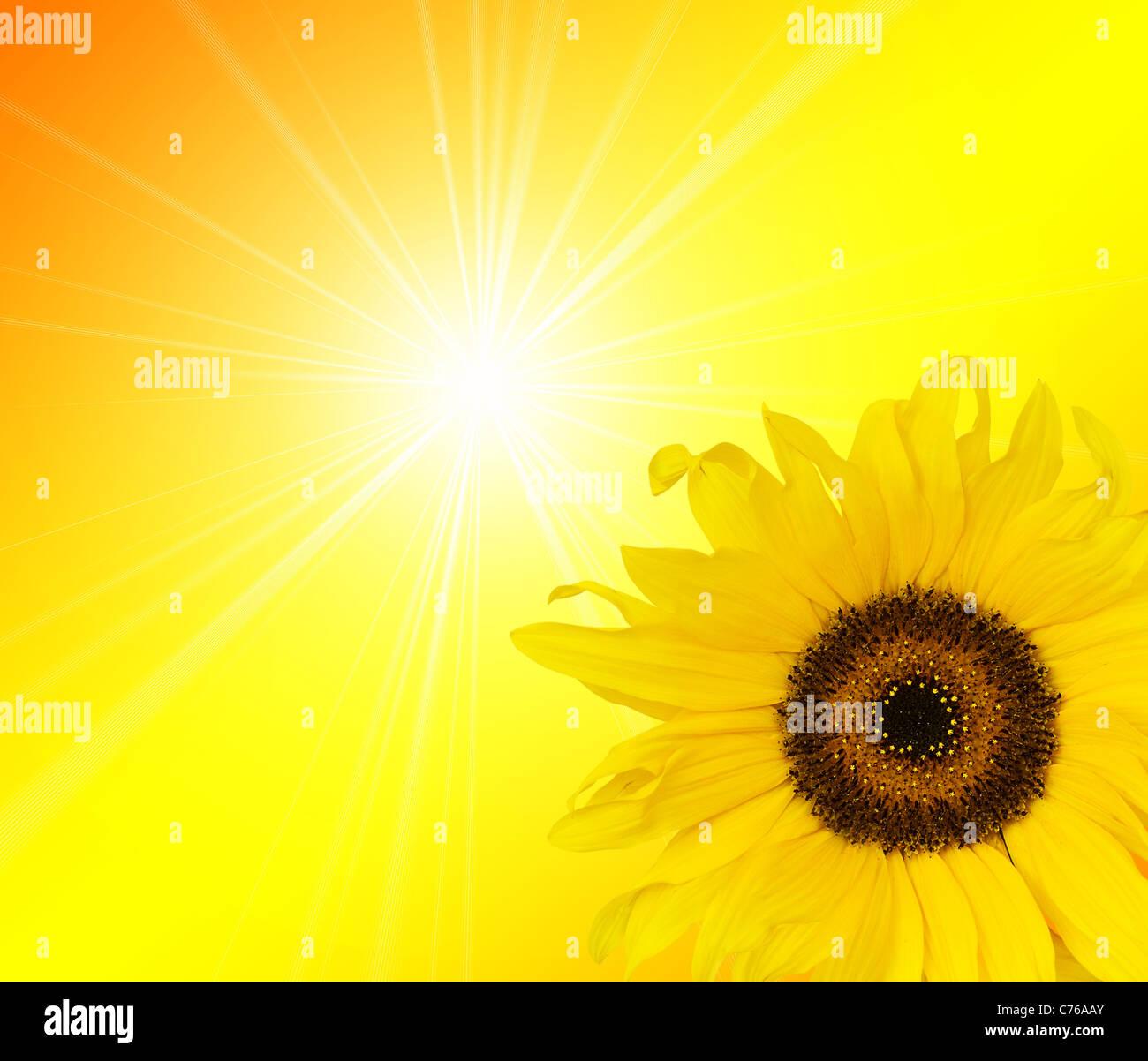 Sonnenblume Sonnenlicht Stockbild