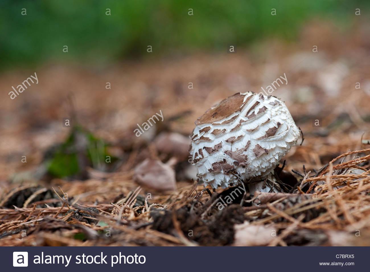 Chlorophyllum rhacodes. Safran-schirmpilz Pilz entstehen durch den Waldboden Stockbild