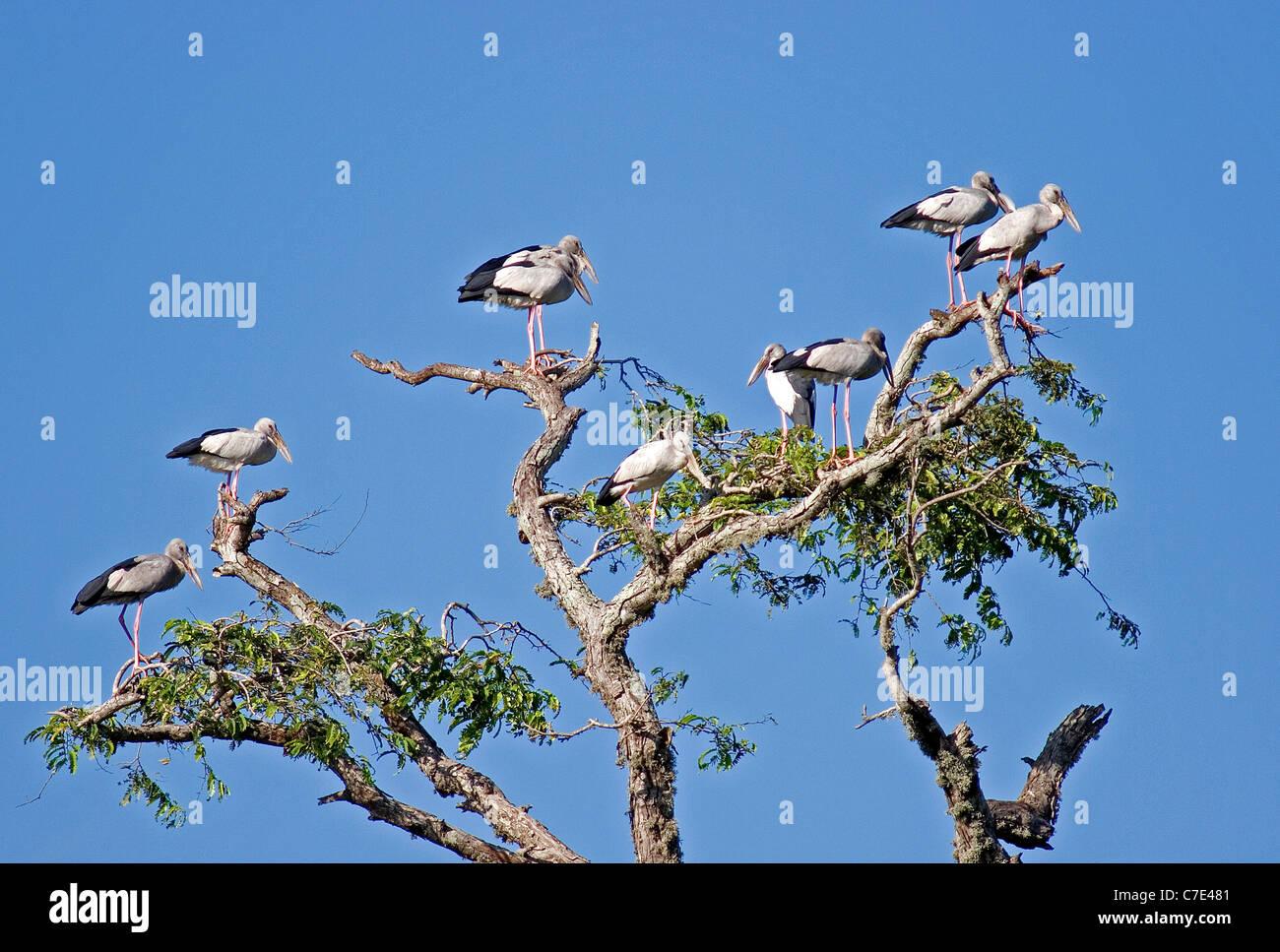 Asiatische offen in Rechnung Storksanastomus Oscitans Sri Lanka Stockbild